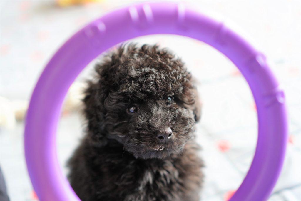 PULLERの輪から覗くトイプードルブラックの子犬