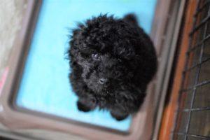 上を見上げるトイプードルブラックの子犬