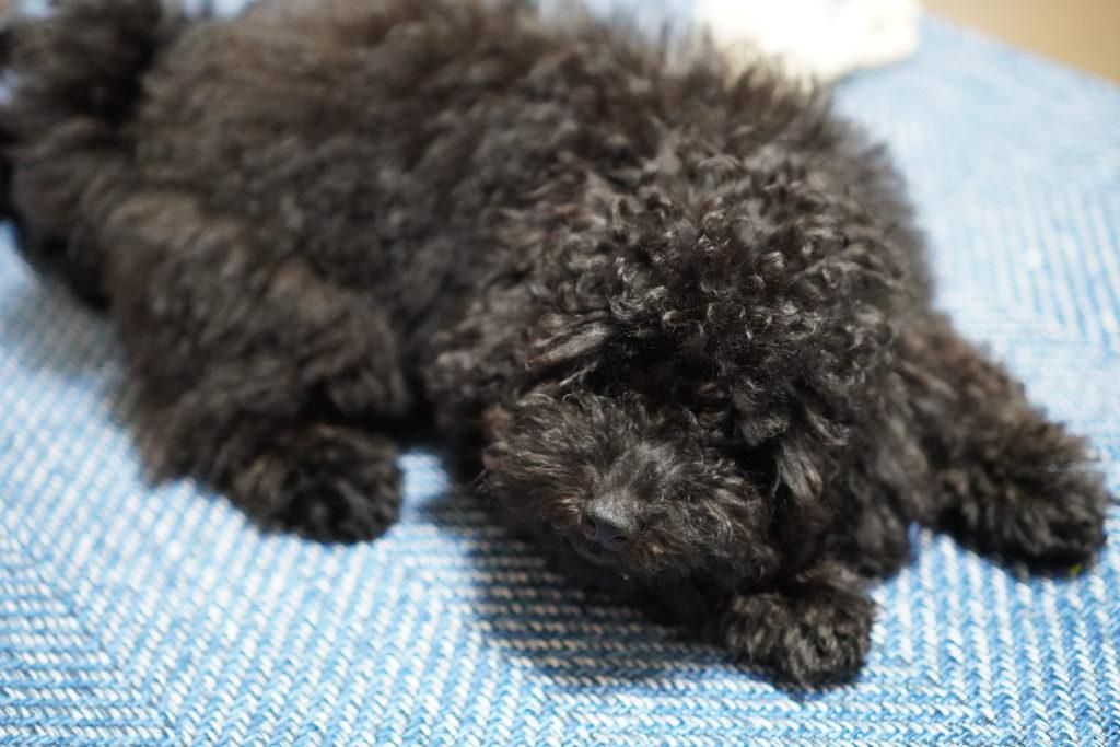 寝ているトイプードルブラックの子犬
