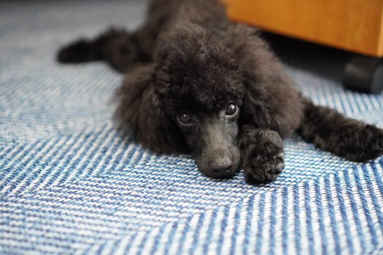 寝そべっている黒のトイプードルの子犬
