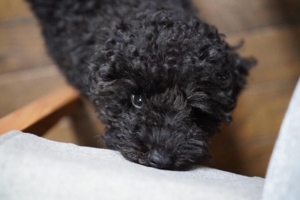 椅子をかじる生後2か月のトイプードルブラックの子犬