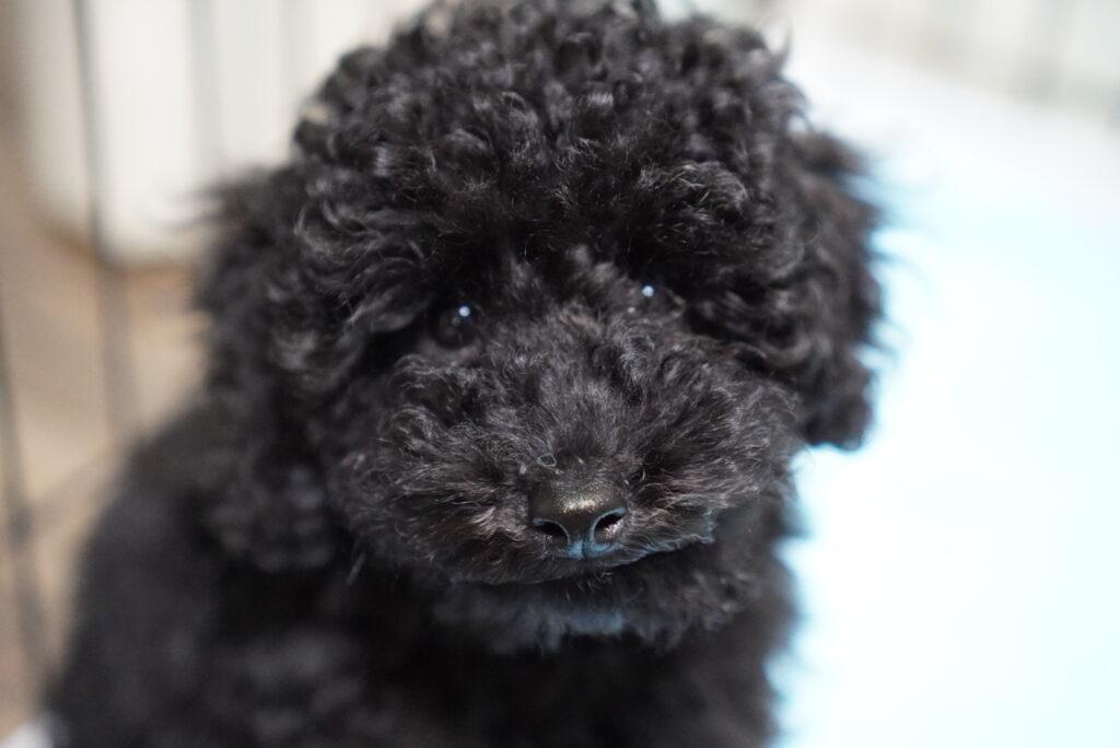 正面を向く生後2か月のトイプードルブラックの子犬