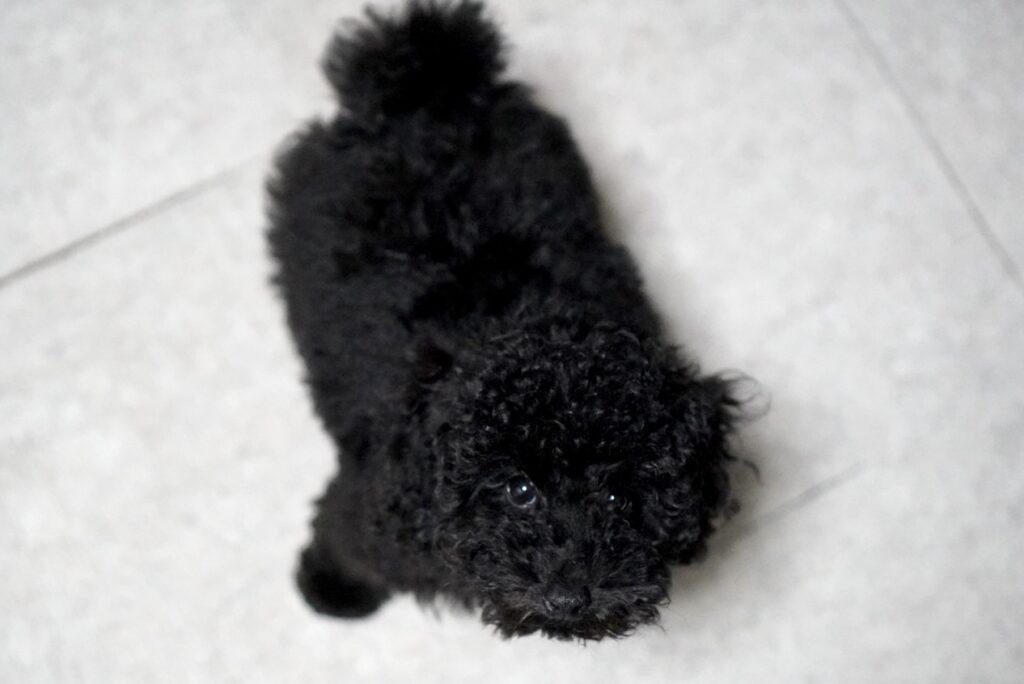 上を見上げる黒のトイプードルの子犬