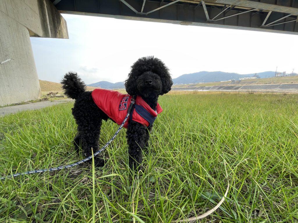 草の上に立つトイプードルブラック