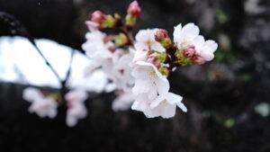 咲いたばかりの桜の花