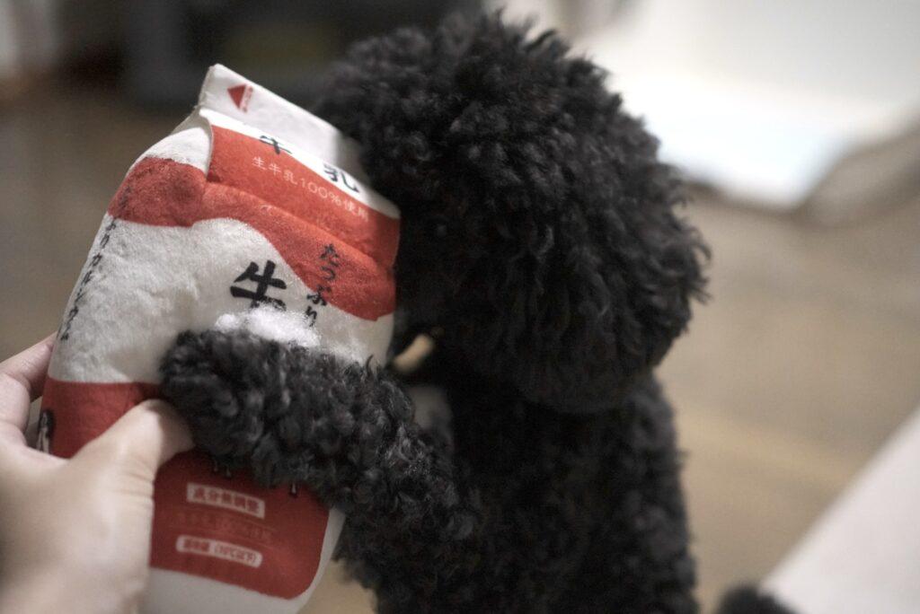 牛乳の犬用おもちゃに抱き着くトイプードルブラック