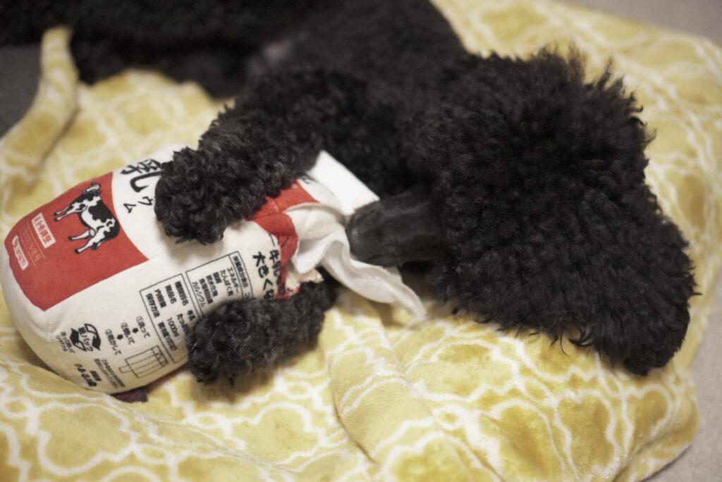 牛乳の犬用おもちゃで遊ぶトイプードルブラック