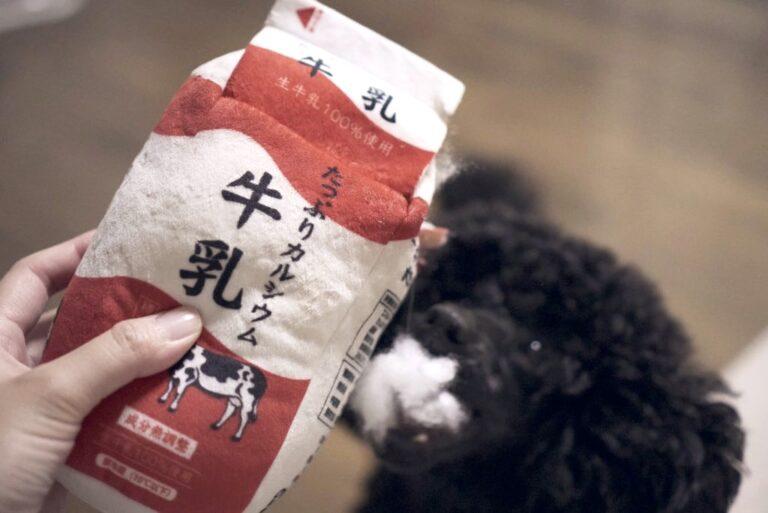 本物そっくりな牛乳の犬用おもちゃで遊ぶトイプードルブラック