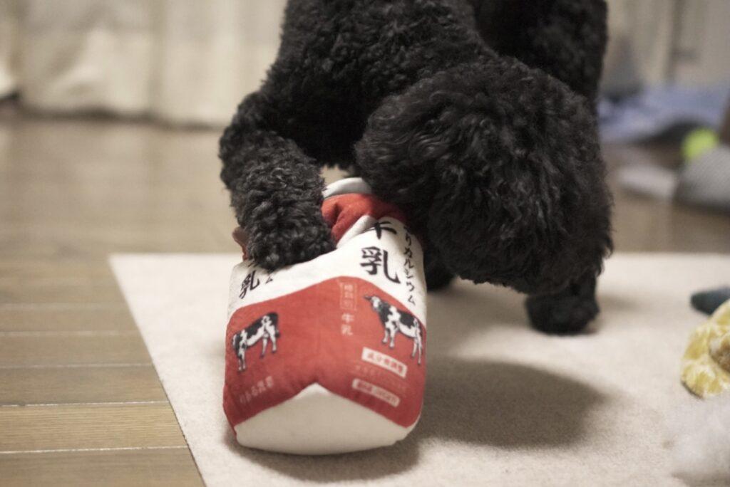 本物そっくりな牛乳の犬用おもちゃを咥えるトイプードルブラック