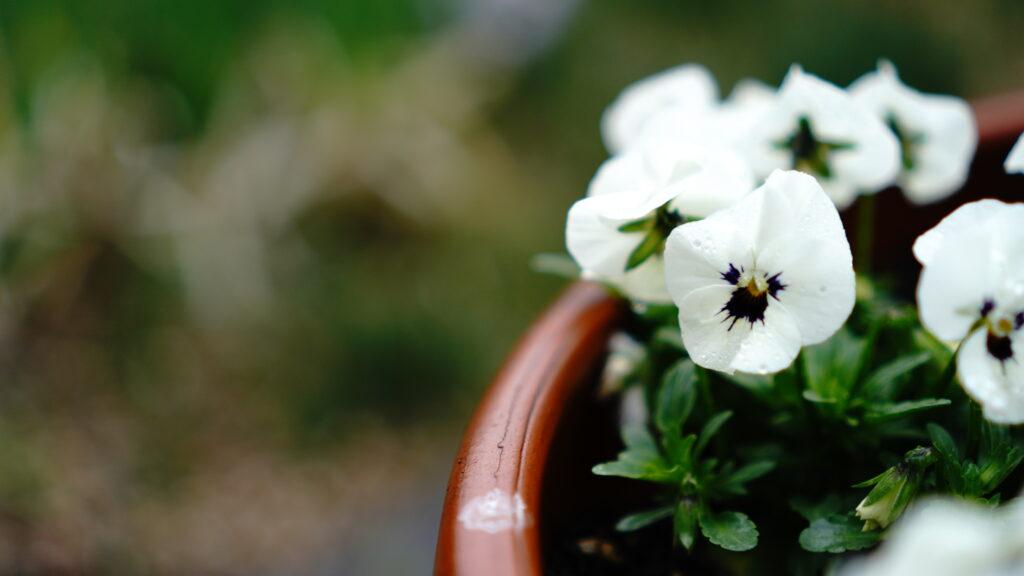 鉢植えの白いビオラ