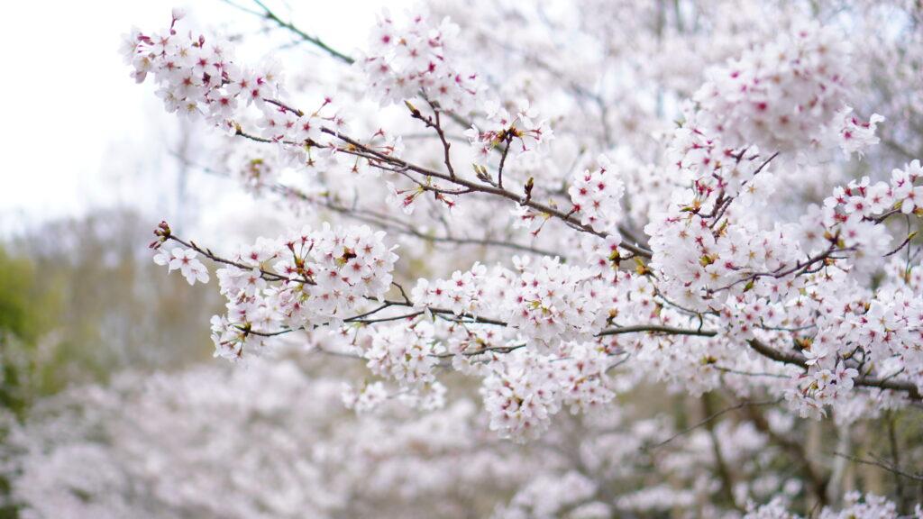 龍ノ口グリーンシャワー公園に咲く桜