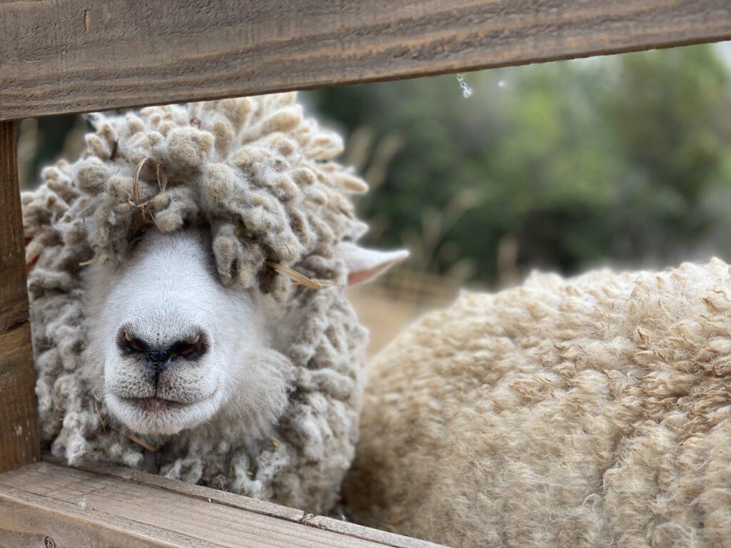 ドイツの森の羊