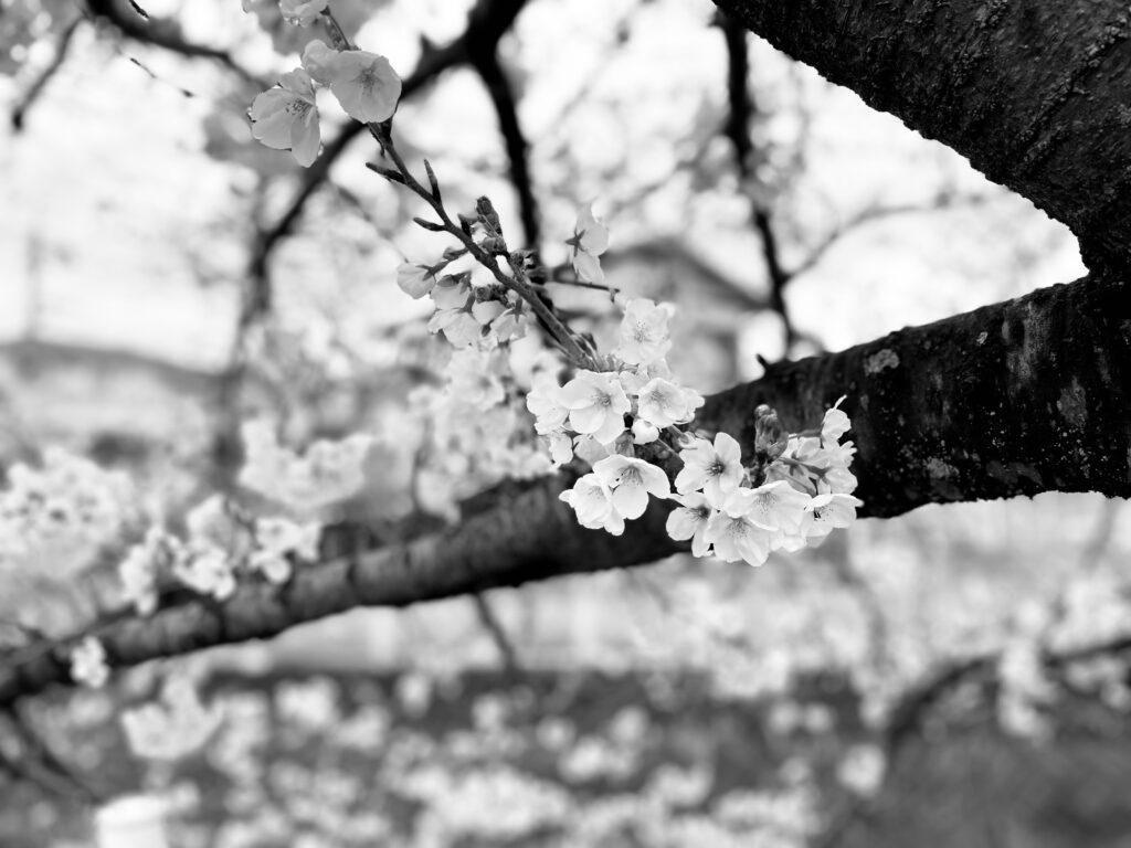 iPhone12 Proでモノクロ撮影した桜