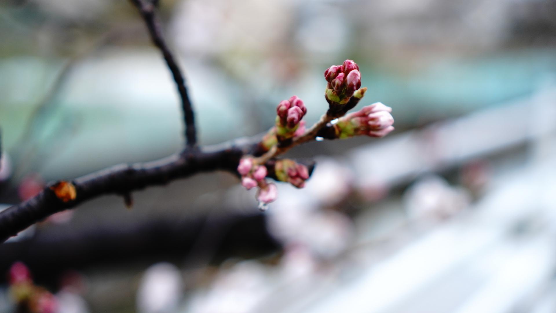 ピンク色の桜のつぼみ