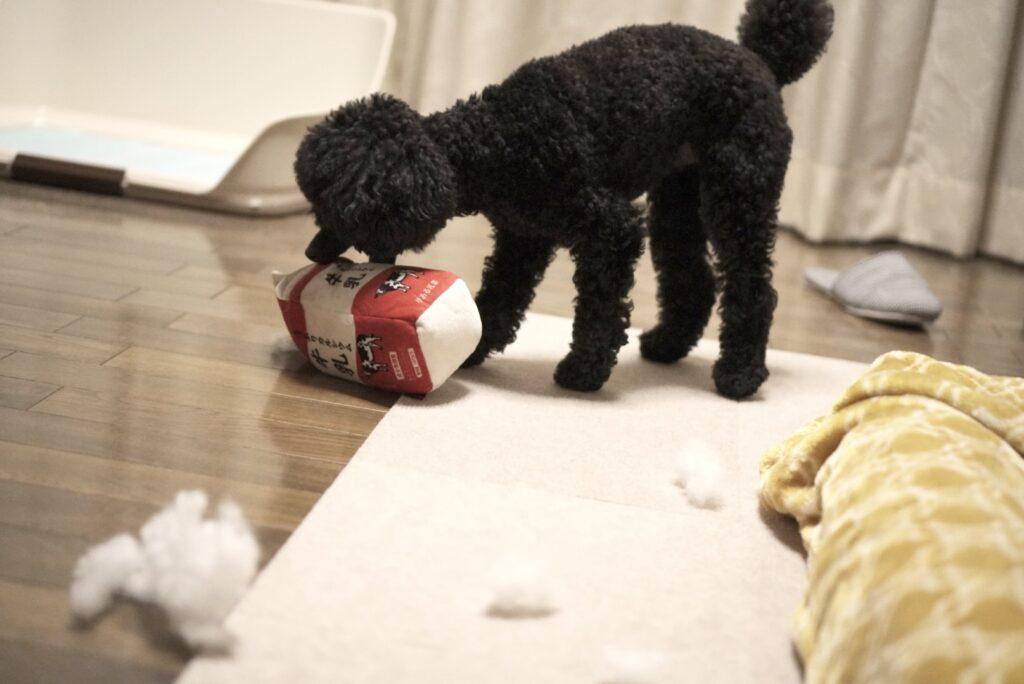 牛乳のおもちゃを破壊するトイプードルブラック