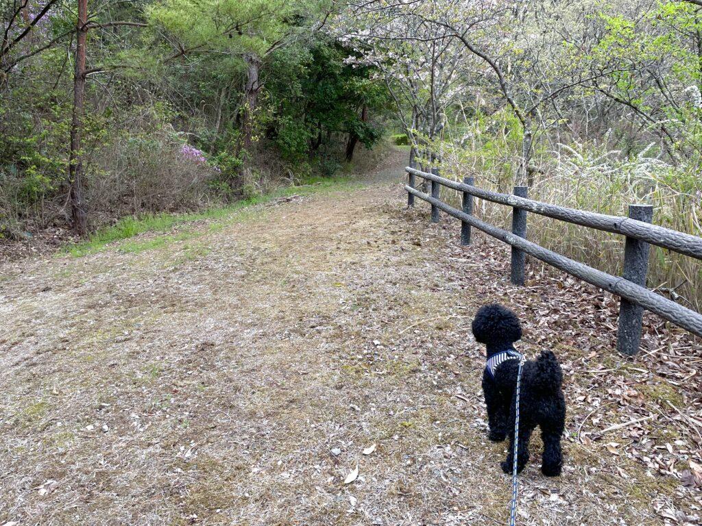 岡山リサーチパーク付近を散策するトイプードルブラック